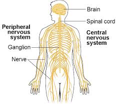 Peripheral nervous syst pic